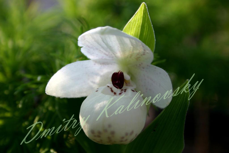 Cypripedium flavum Alba (album)